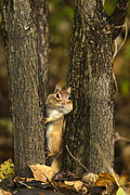 Boo Prints -  Chipmunk Peek A Boo Print by Christina Rollo