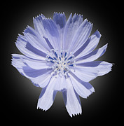 Blue Petals Photos -  Cichorium intybus by Tony Cordoza