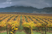 Asti Vineyards Photo Posters -  Clouds over Alexander Valley vineyard on a fall morning Poster by Gary Crabbe