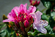 Plant Greeting Cards Posters -  Coast Rhododendron Poster by Robert Bales