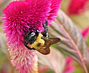 Everlasting Flower Photos -  Cockscomb and Bumble Bee by Chris Berry