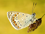 Odon Czintos -  Common Blue Polyommatus...