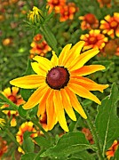 Nature Center Prints -  Coneflower and Gaillardia Print by Chris Berry