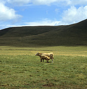 Hilly Landscape Metal Prints -  Cow and calf. Aubrac . France. Metal Print by Bernard Jaubert