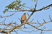 Fotosas Photography -  Crested Serpent Eagle