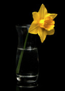 Jonquils Photos -  Daffodil by Ron Roberts