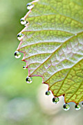 Grape Leaf Prints -  Dewy Grape Leaf Print by Lila Fisher-Wenzel