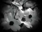 Dogwood Blossom Photo Metal Prints -  Dogwood Blossoms-Bk-Wh-V Metal Print by Eva Thomas