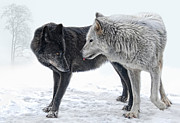 Canidae Photos -  Ebony And Ivory  by Joachim G Pinkawa