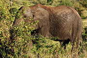 Elephant Photos -  Elephant Calf  by Aidan Moran