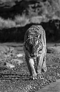 Cats Photo Metal Prints -  Endangered  Metal Print by Robert Weiman