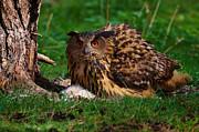 Nick  Biemans -  Eurasian Eagle Owl on her nest
