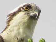 Birds Of Prey Print Prints -  Eye of the Osprey Print by Zulfiya Stromberg