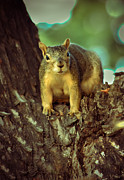 Eastern Fox Squirrel Metal Prints -  Fox Squirrel Metal Print by Robert Bales