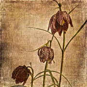 Patricia Hofmeester -  Fritillaria Meleagris