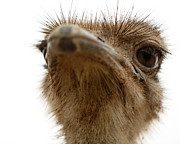 Ostrich Photos -  Funny Faced Ostrich by Terry Fleckney