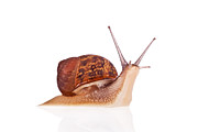 Crawling Posters -  Garden snail looking up Poster by Lusoimages  