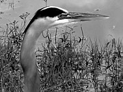 Great Blue Heron Black And White Posters -  Great Blue Heron Head 000  Poster by Christopher  Mercer