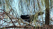 Great-tailed Grackle Print by Beverly Guilliams
