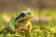 Odon Czintos -  Green Tree Frog