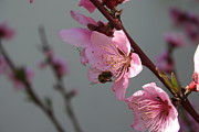 Tracey Harrington-Simpson - 	 Honey Bee Feeding on Peach Tree Blossom