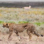 Hungry Red Cheetah Print by Chris Scroggins