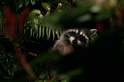 Huckleberry Bushes Prints -  I Can See You  Mr. Raccoon Print by Kym Backland