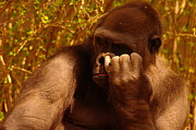 Primates Photos -  I Have Not Forgotten Your Birthday I Am Picking Out Your Present Now by Jeff  Swan