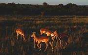East Africa Framed Prints -  Impalas at Sunset Kenya Framed Print by Tom Wurl