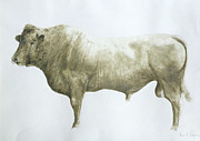 Signed Metal Prints -  Islay Bull Metal Print by Lincoln Seligman