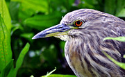 Maryjane Armstrong Framed Prints -  Juvenile Black Crowned Night Heron Framed Print by MaryJane Armstrong