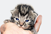 Susan Leggett Photo Acrylic Prints -  Kitten in a Hand Acrylic Print by Susan Leggett