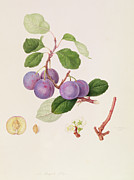 Botany Painting Prints -  La Royale Plum Print by William Hooker