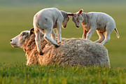Childsroom Posters -  Leap sheeping Lambs Poster by Roeselien Raimond