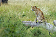 Tanzania Framed Prints -  Leopard in Serengeti Framed Print by Tony Murtagh