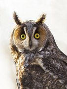 Birds -  Long-eared Owl Portrait on white by Mircea Costina Photography