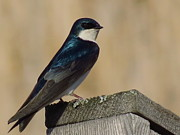 David Lankton -  Male Tree Swallow