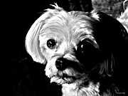 Maltese Dog Posters -  Maltese In Black And White Poster by Annie Zeno