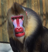 Wild Animals Pyrography Metal Prints -  Mandrill portrait Metal Print by Nataly Rubeo