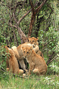 Animal Portrait Prints Prints -  Masai Mara Lion Cubs Print by Aidan Moran