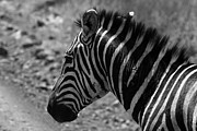 Animal Portrait Prints Prints -  Masai Mara Zebra Print by Aidan Moran