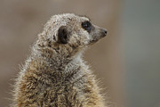 Meerkat Photos -  Meerkat by Ernie Echols