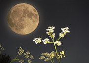 Moonlit Night Prints -  Moonlight Blossoms Print by Bruno Santoro