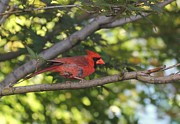 Yumi Johnson -  Northern Cardinal 2