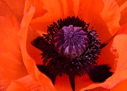 Orange Poppy Print by Kathleen Struckle