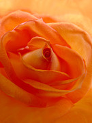 Peach Rose Posters -  Orange Swirls Rose Flower Poster by Jennie Marie Schell