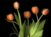 Valentine Posters -  Orange Tulips  Poster by Jacqui Martin