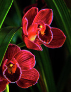 Orchids Art -  Orchids Glow by Margaret Saheed