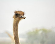 Ostrich Photos -  Ostrich by Terry Fleckney