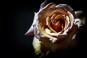 Painted Rose Print by Holly Martin
